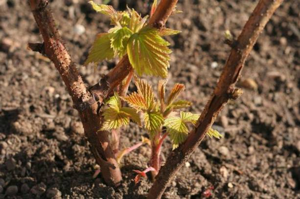 Подкормка малины осенью