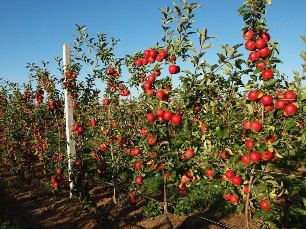 Яблоня чудное: фото и описание сорта, отзывы садоводов
