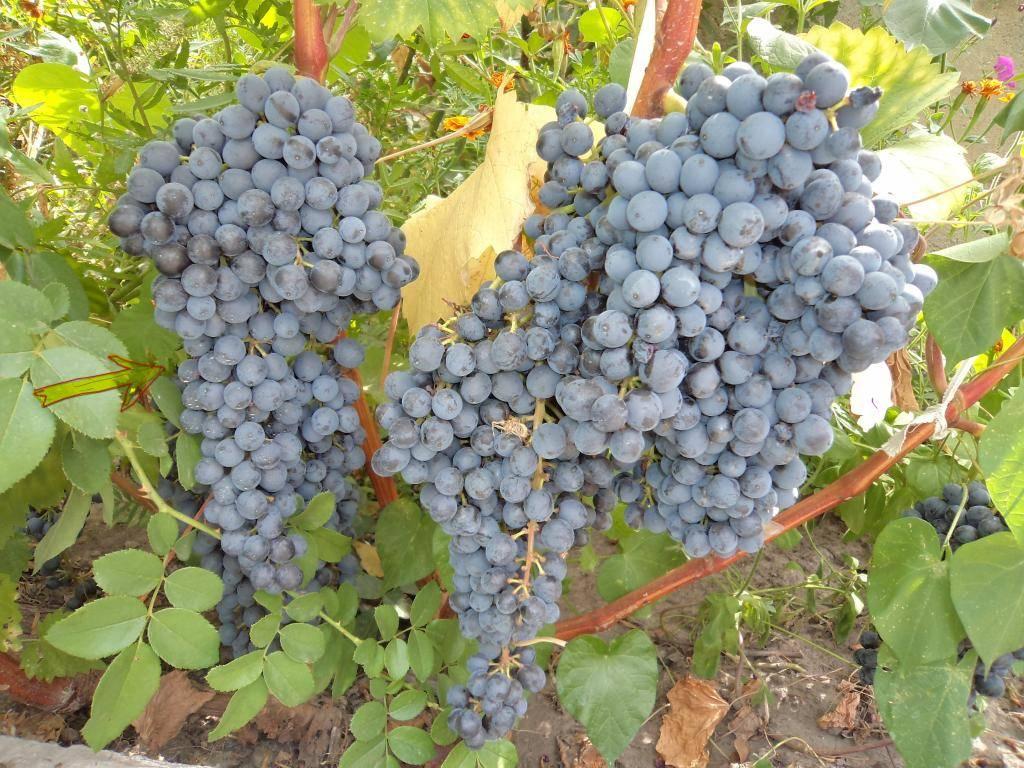 Виноград краса балок: описание сорта , фото, урожайность и отзывы