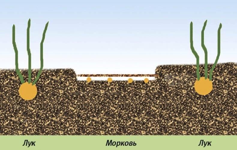 Как посадить морковь чтобы она быстро взошла - plodovie.ru