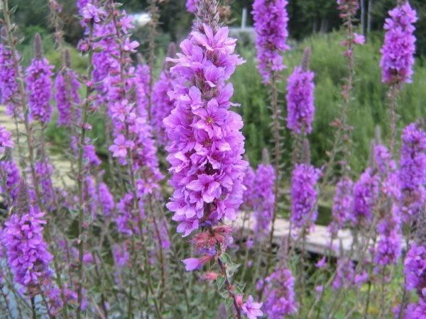 Лучшие растения медоносы для ваших пчел