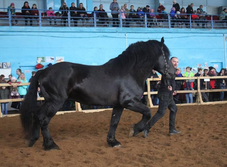 Самая большая лошадь в мире: размеры, вес, порода