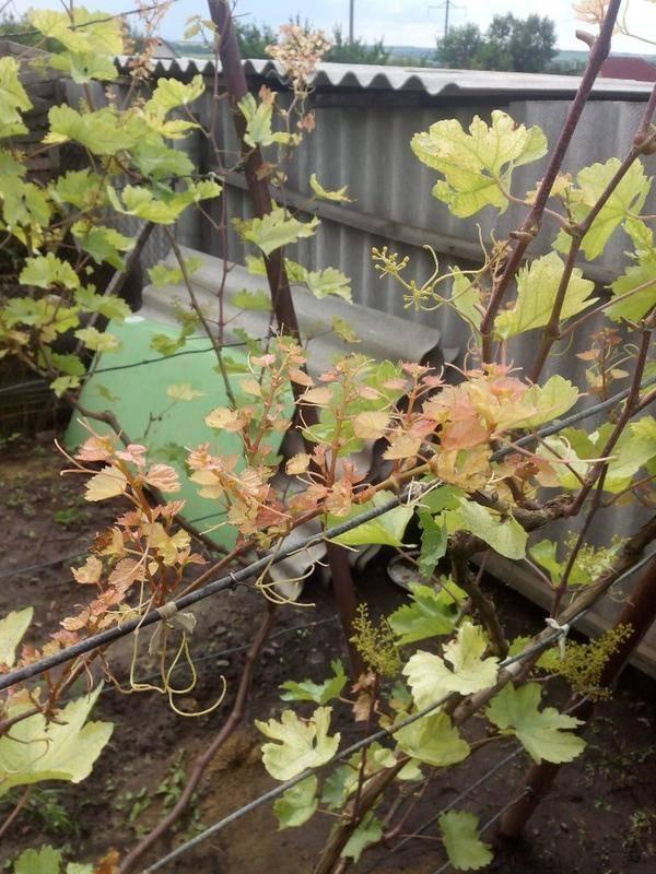 Причины почему желтеют листья у винограда