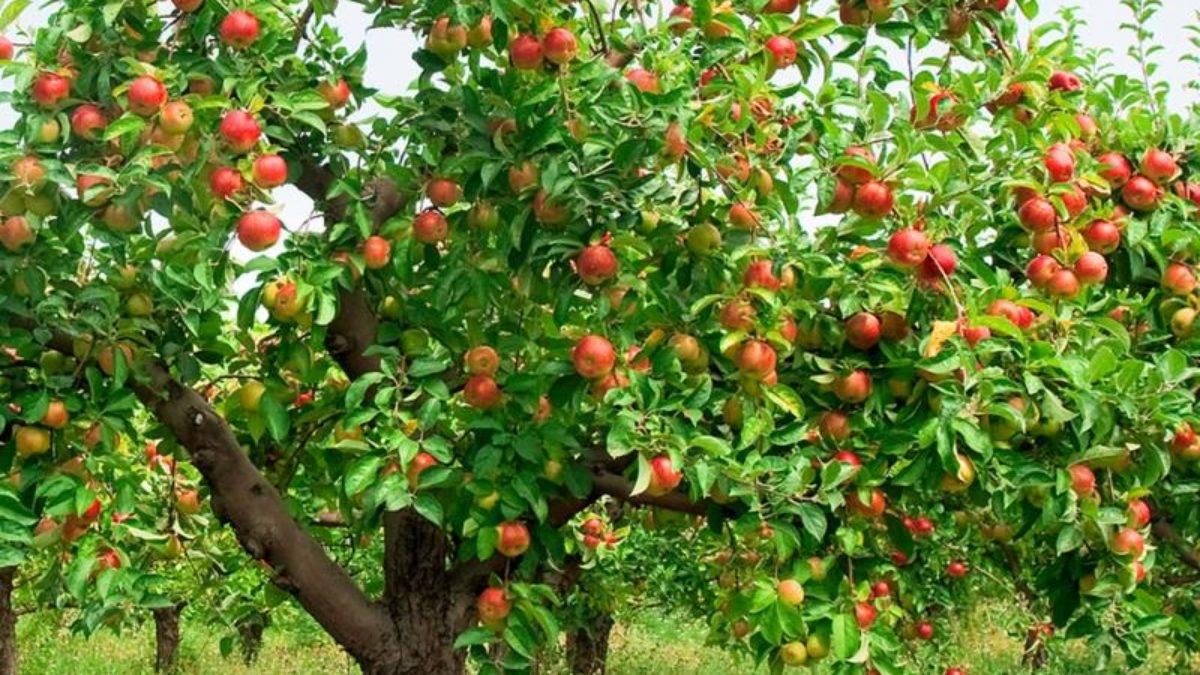 Сколько лет живет яблоня, продолжительность жизни груши