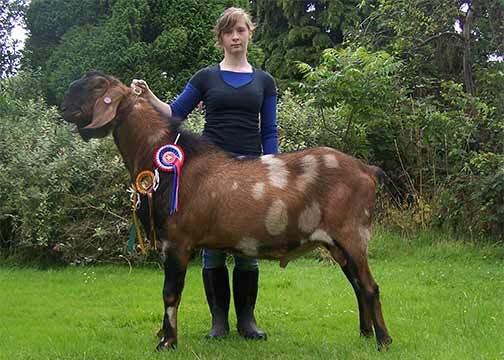 Нубийские козы: особенности содержания животных этой породы
