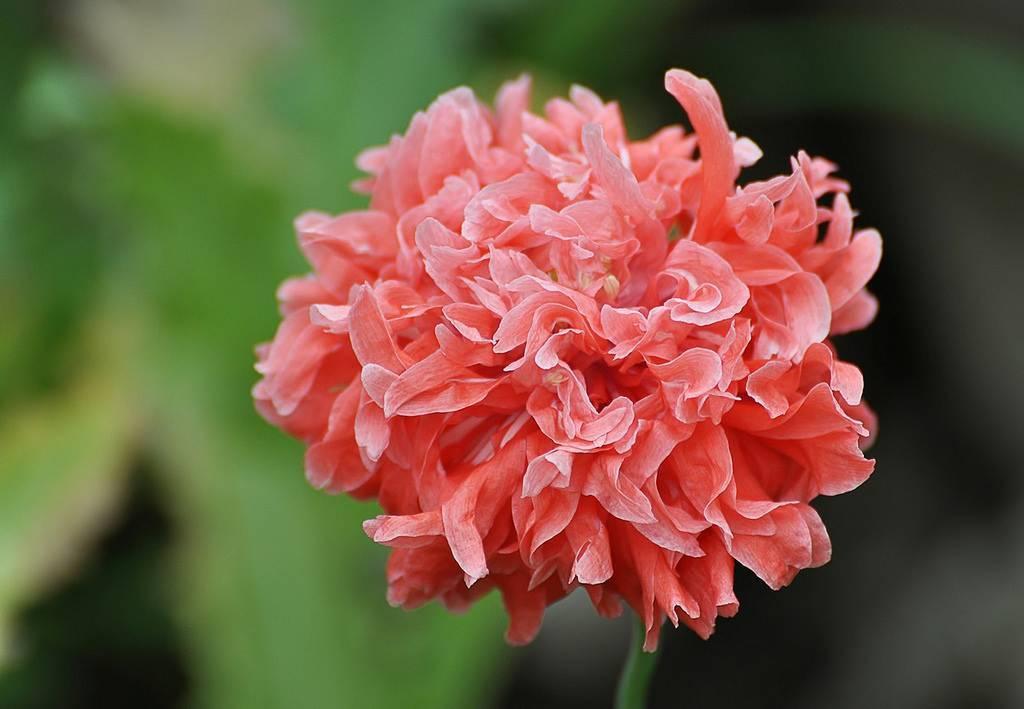 Цветок мак – посадка, выращивание и уход в открытом грунте