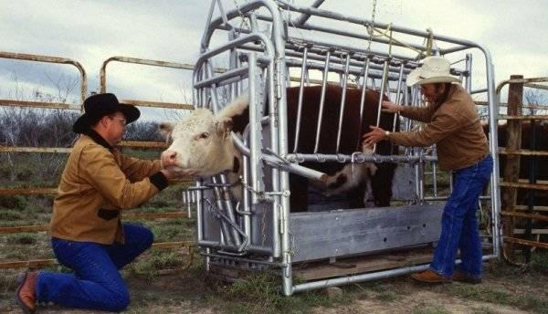 Как определить стельность коровы в домашних условиях народными средствами