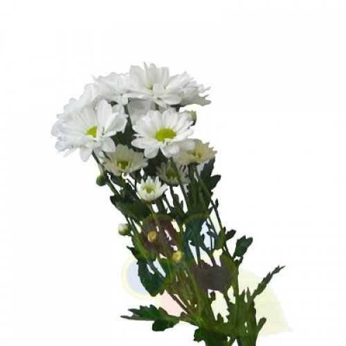 Особенности хризантемы бакарди