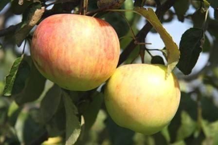 Яблоня подарок графскому: описание сорта, фото, отзывы