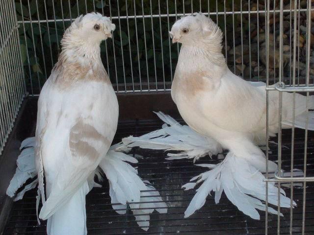 Узбекские голуби: фото с названиями и описанием