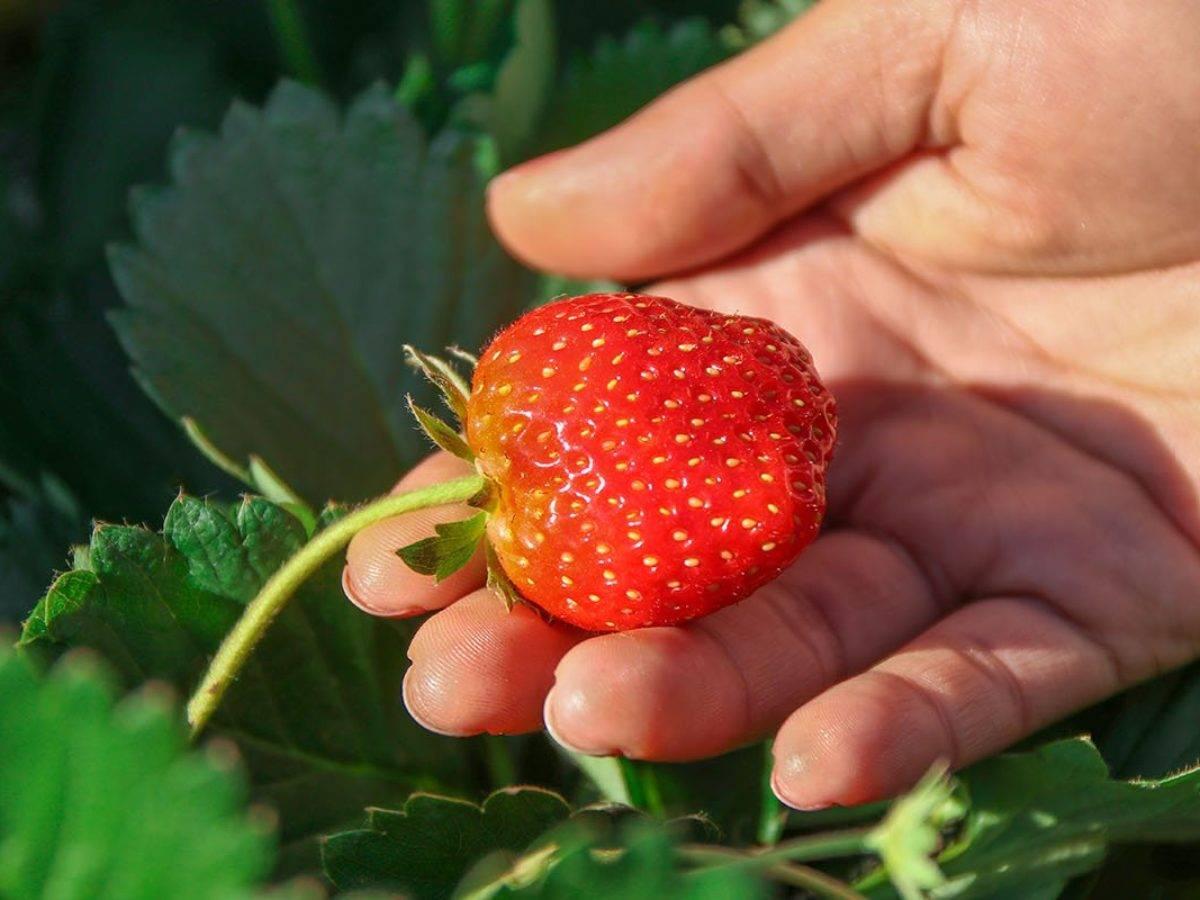 Ремонтантная клубника: правильный уход и выращивание в открытом грунте, видео и фото