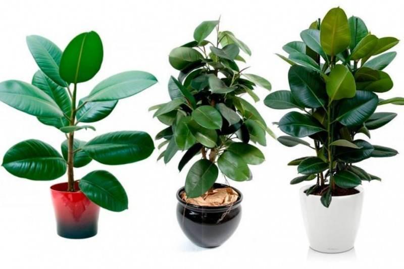 Неприхотливое и очень красивое растение — фикус бенджамина «барок»