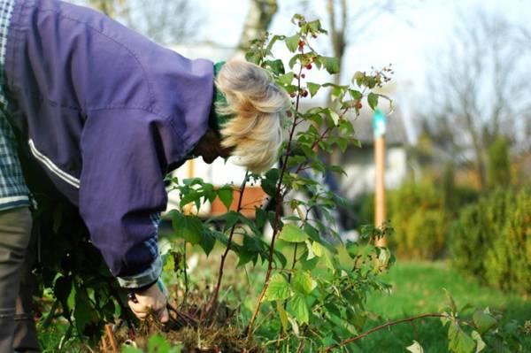 Выращивание ремонтантной малины и уход за ней