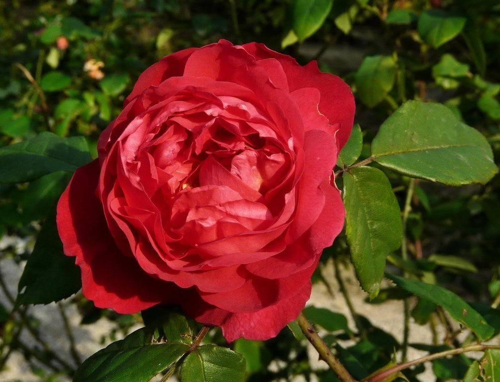 Пионовидная роза: описание и применение в дизайне сада + 16 лучших сортов красного, розового, белого и желтого цвета