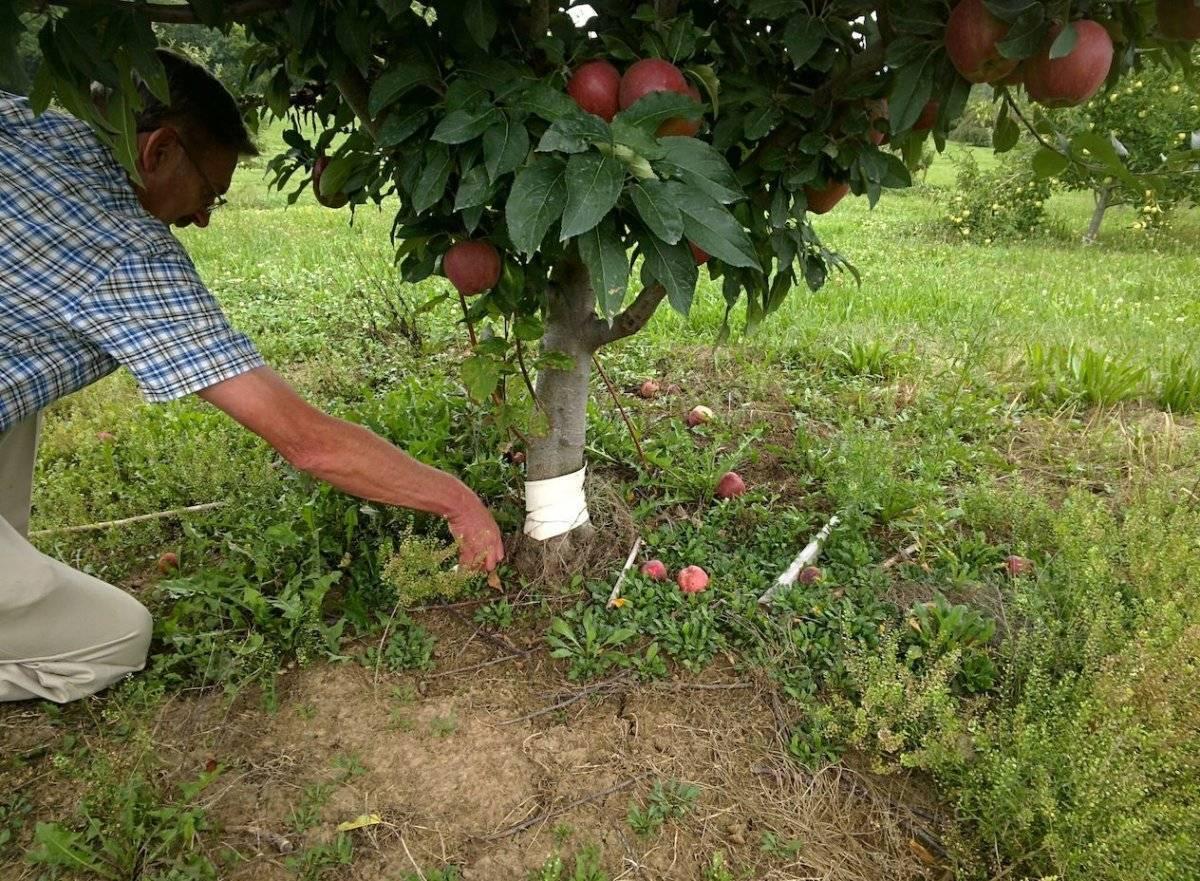 Способы размножения яблони