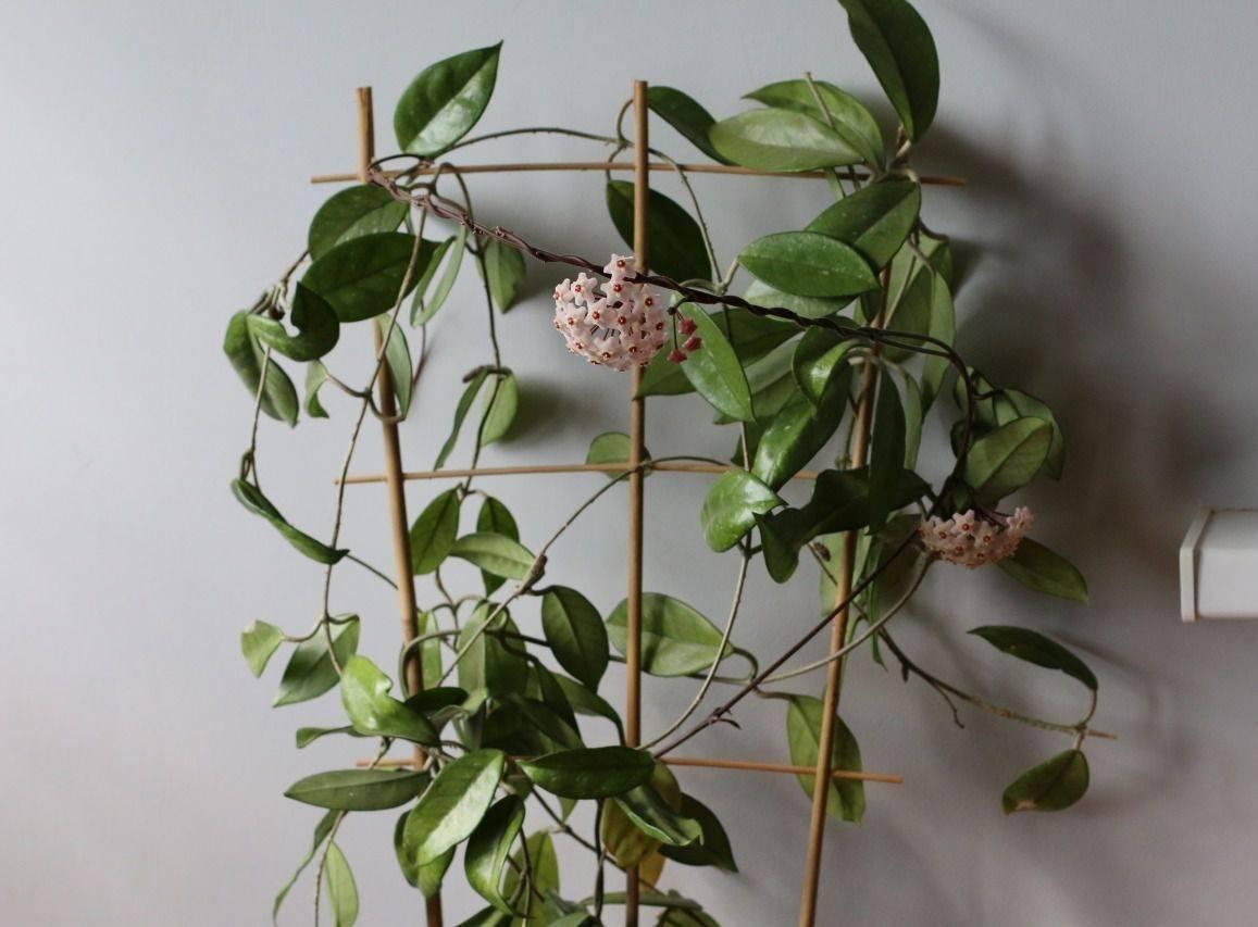 Советы как заставить домашние цветы зацвести в квартире. фото как ухаживать в домашних условиях за цветком выскочка, декабрист, амараллис, каланхоэ, женское счастье, рождественская звезда, чтобы цвели   жл