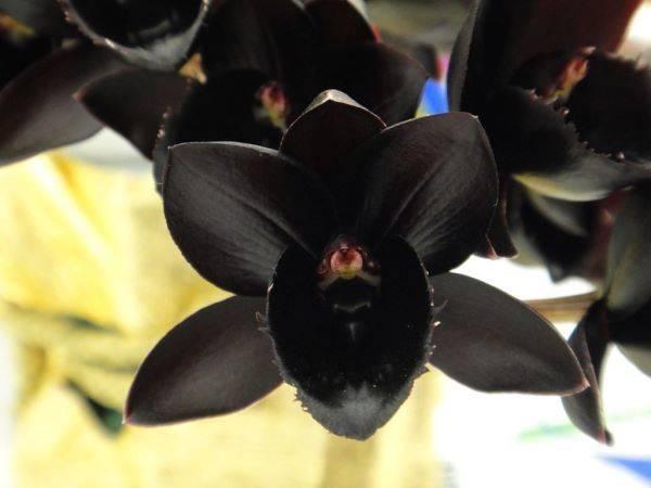 Необычные орхидеи: особенности и сорта