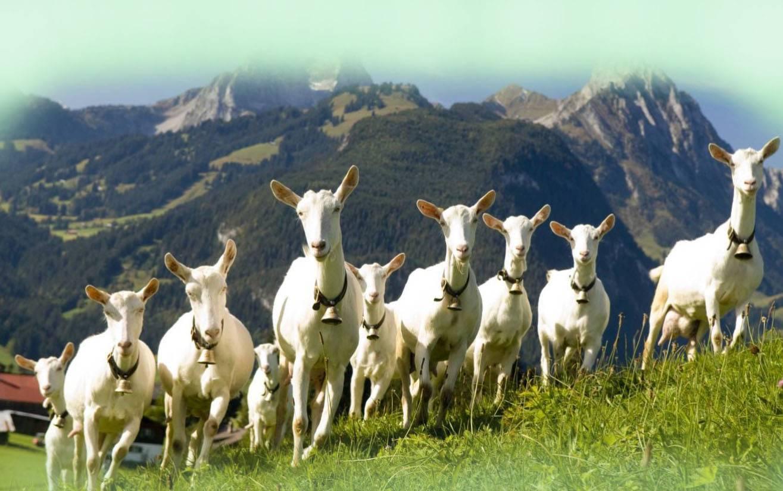 Высокопродуктивная порода коз родом из швейцарии — зааненская