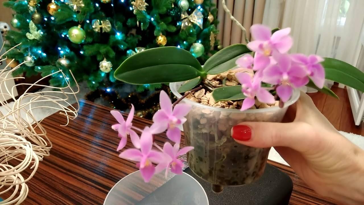 Эквестрис орхидея - pocketflowers.ru
