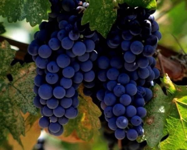 Виноград альфа: описание сорта, фото и отзывы