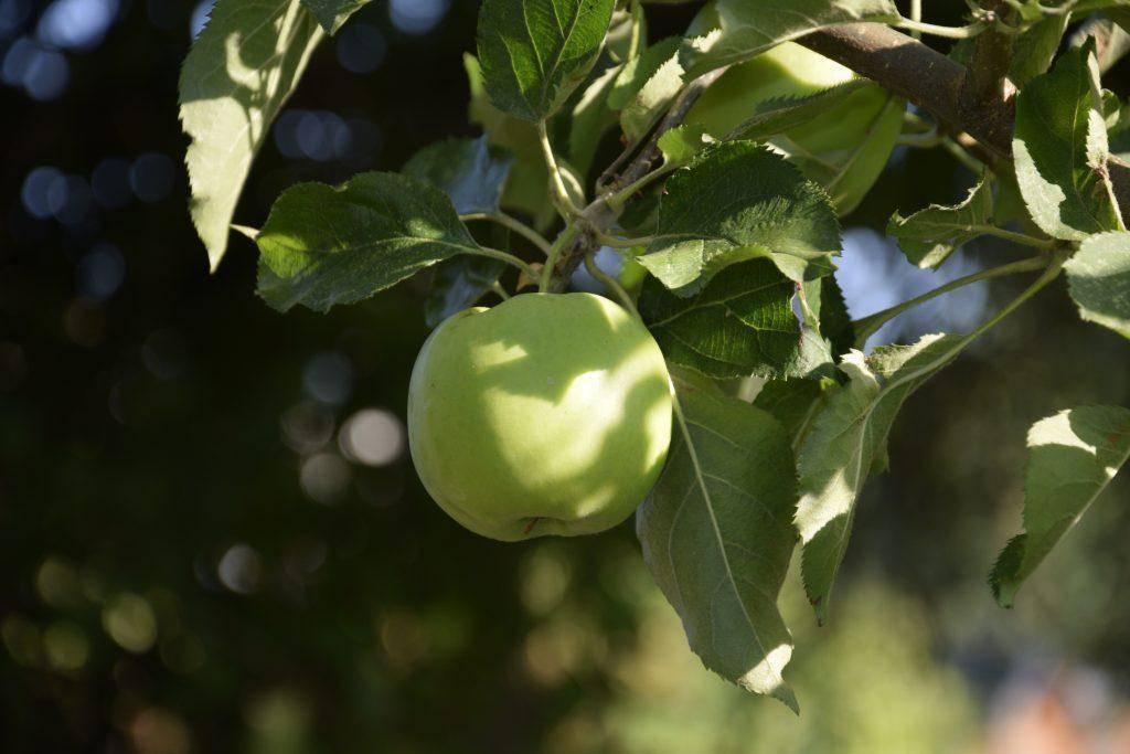 """Яблоки """"семеренко"""": описание сорта, фото, отзывы"""