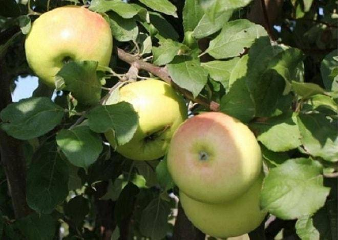 Яблоня солнцедар описание и характеристики сорта отзывы садоводов с фото