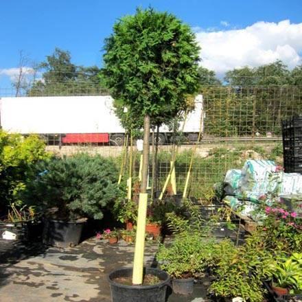 Туя западная колумна (thuja occidentalis columna): фото, описание, уход