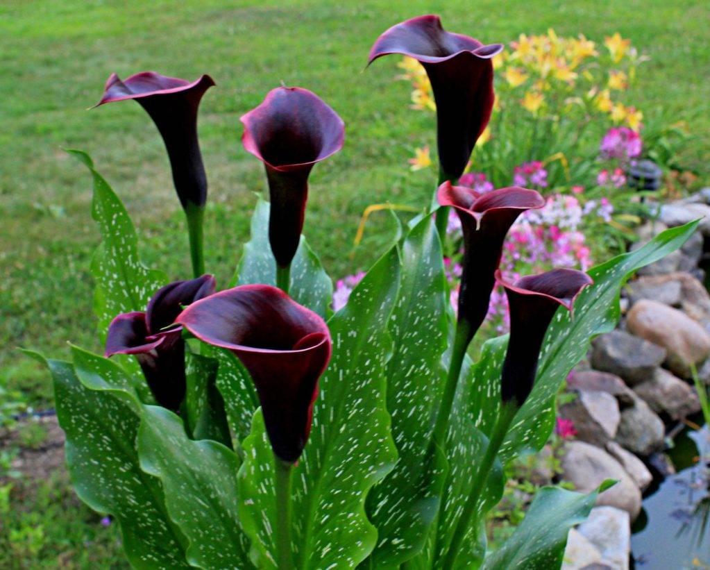 Почему не цветут каллы в саду