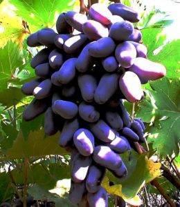 Характеристика и описание сорта винограда оригинал