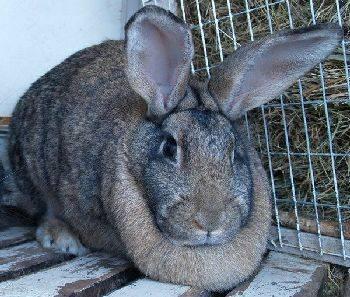 Чем кормить кроликов для быстрого роста и веса