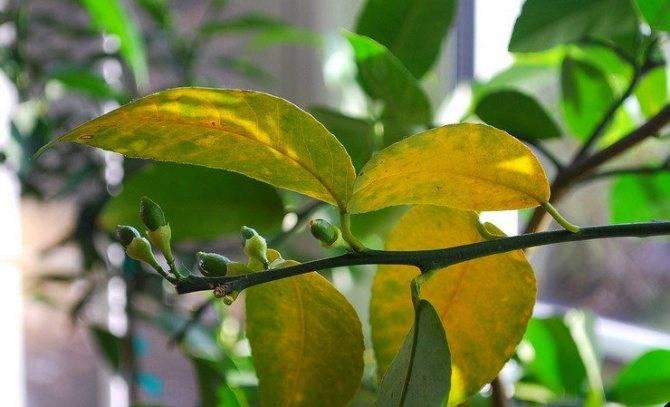 Почему у комнатного лимона желтеют и опадают листья и что делать при этом