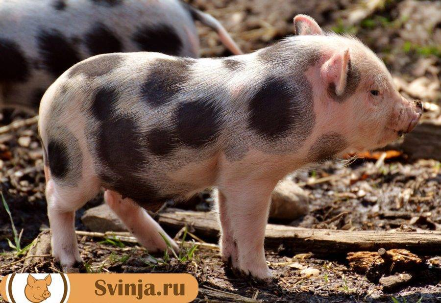 Породы белых свиней (37 фото): характеристика больших русских и украинских степных, литовских и сибирских поросят. описание свиней других пород