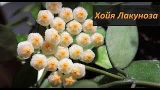 Хойя уход в домашних условиях: как размножается (черенками), выращивание, грунт, не цветет что делать?