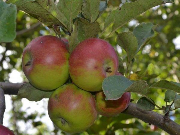 Яблоня сябрына: описание и характеристики сорта, плюсы и минусы, особенности посадки и ухода, фото