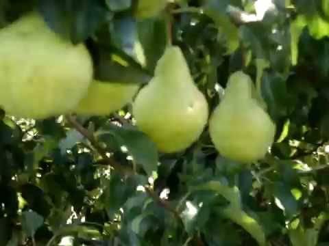Сорт сливы заречная ранняя, описание, характеристика и отзывы, особенности выращивания