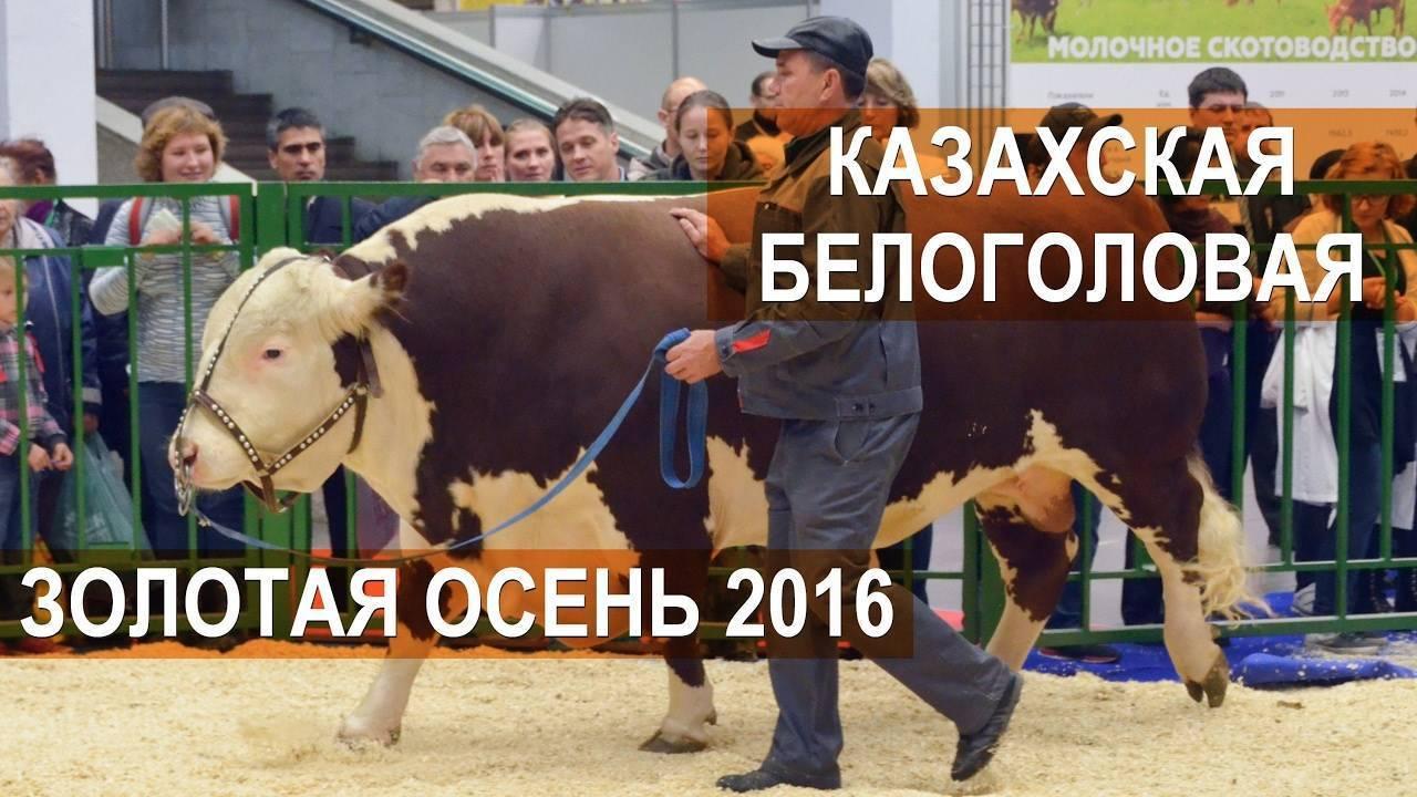 Казахская белоголовая порода коров — характеристики и особенности породы