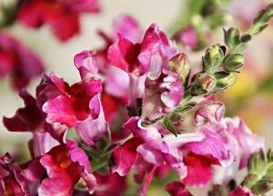 Львиный зев (60 фото): сорта для клумбы, ампельный антирринум и другие. многолетник это или однолетник? как собрать семена?