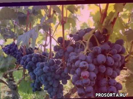 Виноград руслан: морозостойкий и высокоурожайный