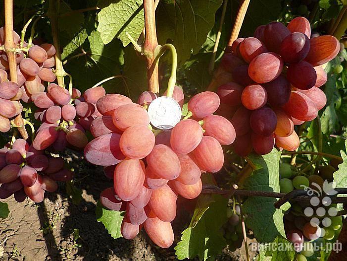 Выращивание винограда богема | инфо сад