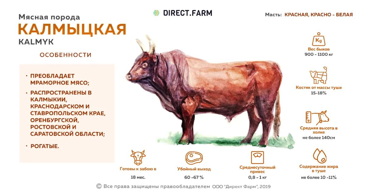 Особенности разведения коров калмыцкой породы