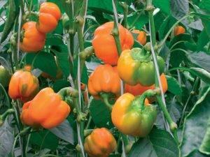 Перец звезда востока - описание сорта, разновидности, фото, отзывы овощеводов, урожайность