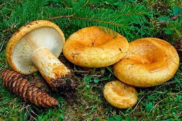 Грузди – съедобные грибы: фото и описание