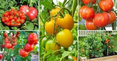 Чем опрыскивать томаты ? летом, как обезопасить от заболеваний