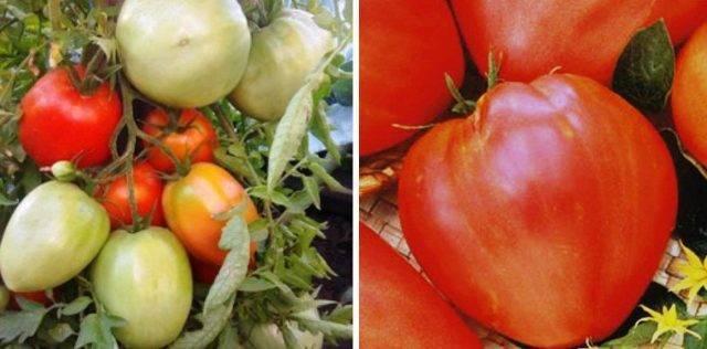 Гастрономическое удовольствие с томатом черный гигант