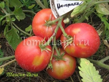 Томат сахарная настасья: описание и характеристика сорта, отзывы, фото | tomatland.ru