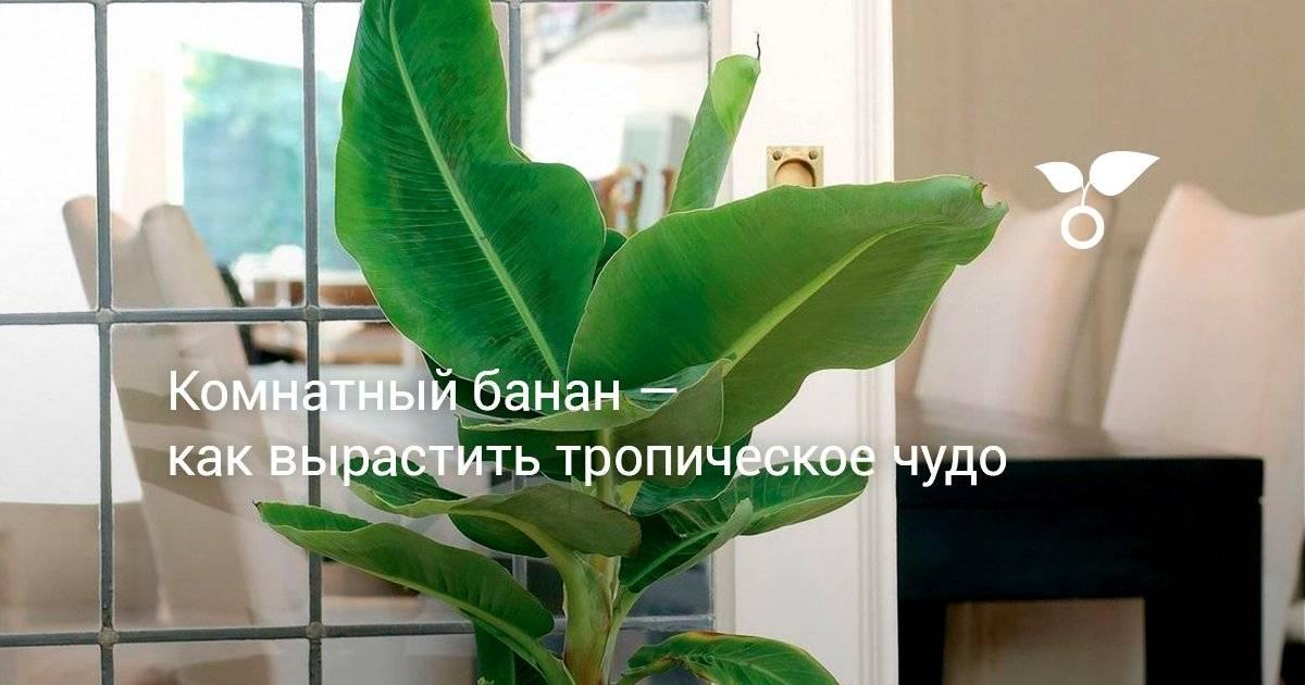 Азимина – банановое дерево