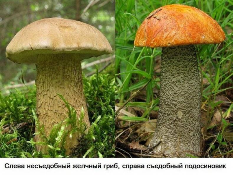 Подберёзовик розовеющий, березовик окисляющийся или пёстрый (leccinum roseafractum или leccinum oxydabile): фото и описание и как готовить гриб