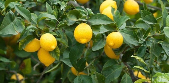 Польза лимона для здоровья и красоты