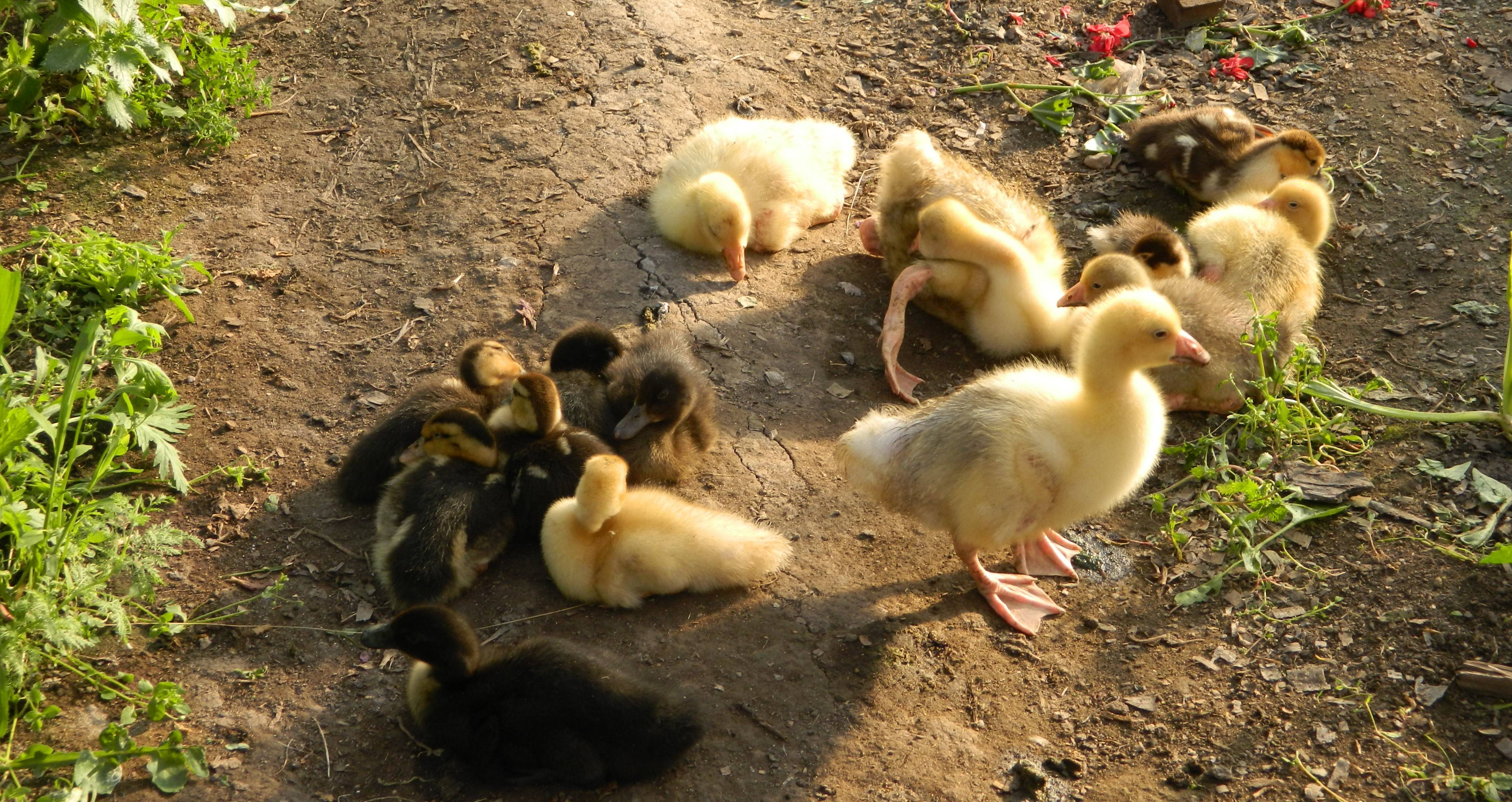 Разведение гусей – подробно для начинающих