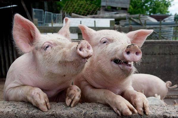 Африканская чума свиней: первые симптомы и признаки. диагностика и лечение чумы